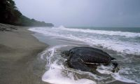 Protecting Sea Turtles in Panama in Panama, Run by: Sea Turtle Conservancy