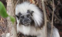 Restore Forests to Protect Cotton-Top Tamarins in Colombia in Colombia, Run by: Wildlife Conservation Network