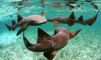 Protect Sharks and Rays in Belize in Belize, Run by: Wildlife Conservation Network